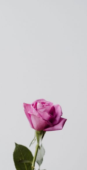 Pink Rose Wallpaper 300x585 - Nature Wallpapers