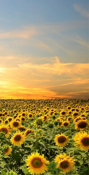 Sunflower field Wallpaper 300x585 - Realme 7 Pro Wallpapers