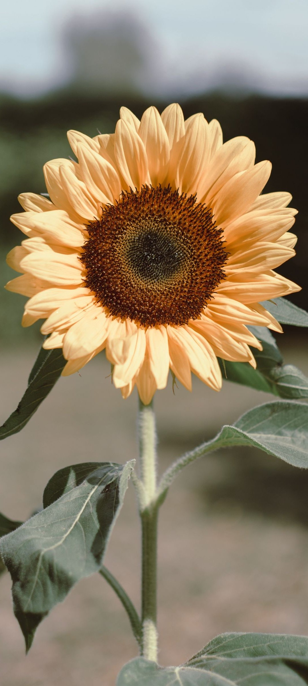 Yellow Sunflower Wallpaper - 44