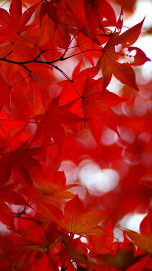 Acer Japonicum Amur Maple Maple Wallpaper 1080x1920 300x533 - Nature Wallpapers