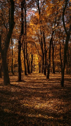 Autumn Forest Trees Wallpaper 1080x1920 300x533 - Nature iPhone Wallpapers