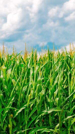 Corn Field Summer Wallpaper 1080x1920 300x533 - Nature Wallpapers