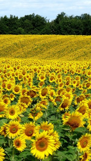 Field Sunflowers Landscape Summer Wallpaper 1080x1920 300x533 - Nature Wallpapers