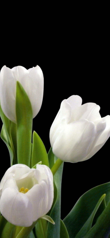 чем картинки на черном фоне белый тюльпан свой возраст, ольга