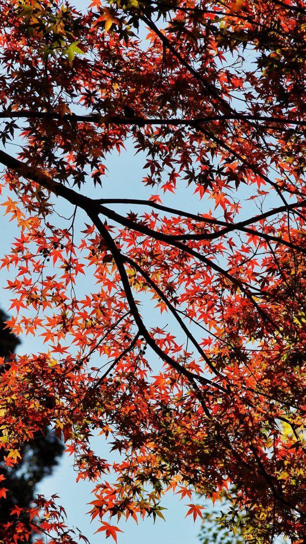 Maple Autumn Trees Wallpaper 1080x1920 600x1067 - Maple Autumn Trees Wallpaper - [1080x1920]