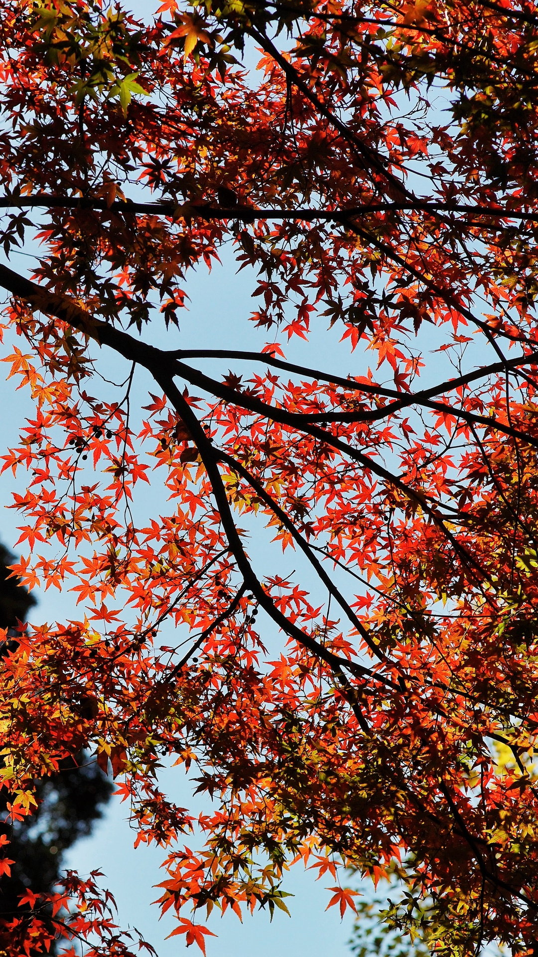 Maple Autumn Trees Wallpaper 1080x1920