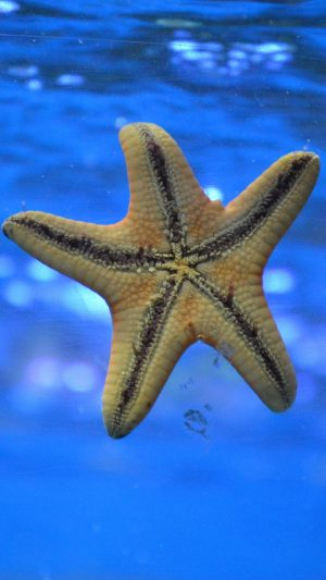 Starfish Underwater Swim Wallpaper 1080x1920 300x533 - Nature iPhone Wallpapers