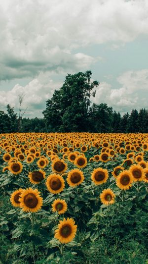 Sunflowers Field Flowers Wallpaper 1080x1920 300x533 - Nature Wallpapers