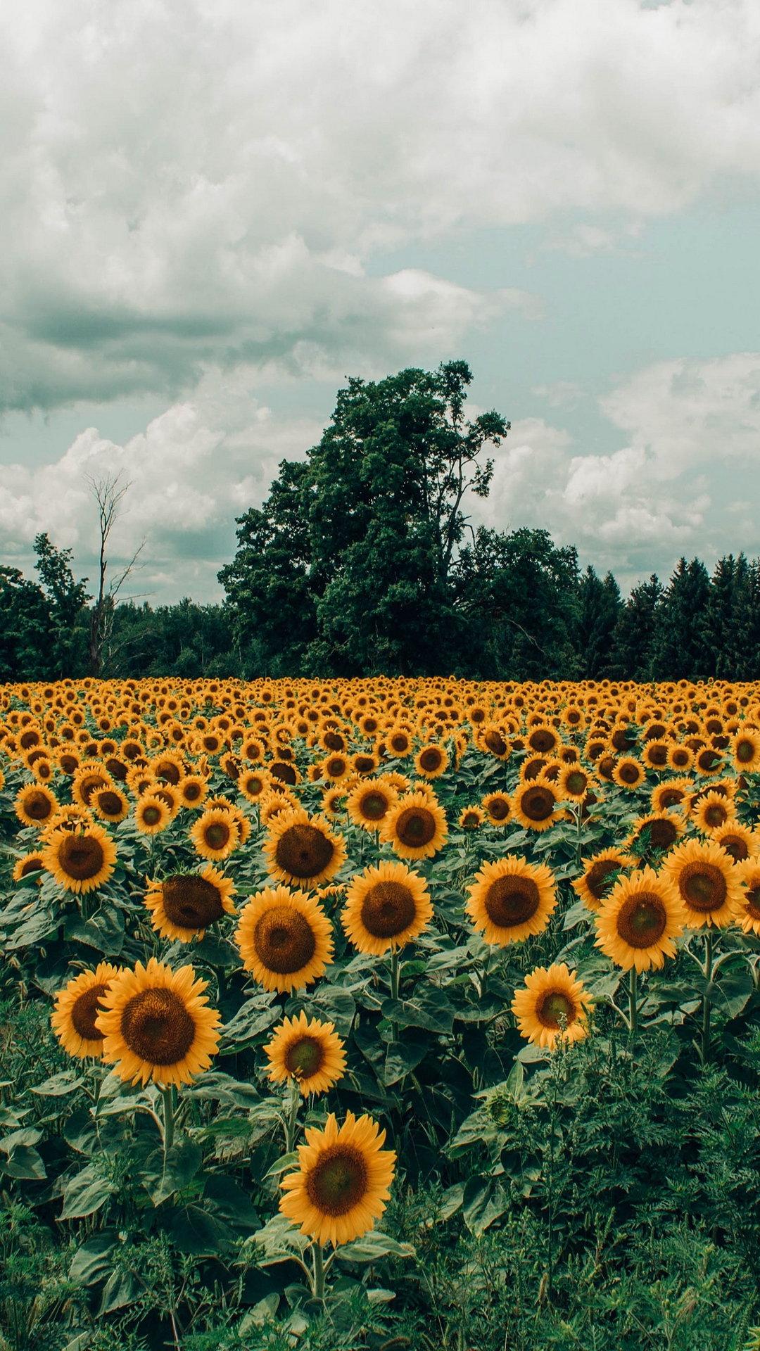 Sunflowers Field Flowers Wallpaper - 1080x1920