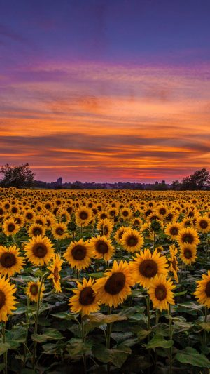 Sunflowers Field Sunset Wallpaper 1080x1920 300x533 - Nature Wallpapers