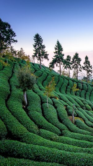 Tea Field Harvest Trees Wallpaper 1080x1920 300x533 - Nature Wallpapers
